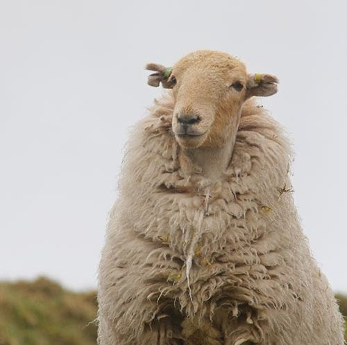 Sheep looking happy despite bad weather