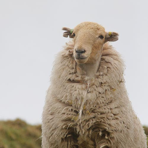 Sheep looking happy despite bad weather